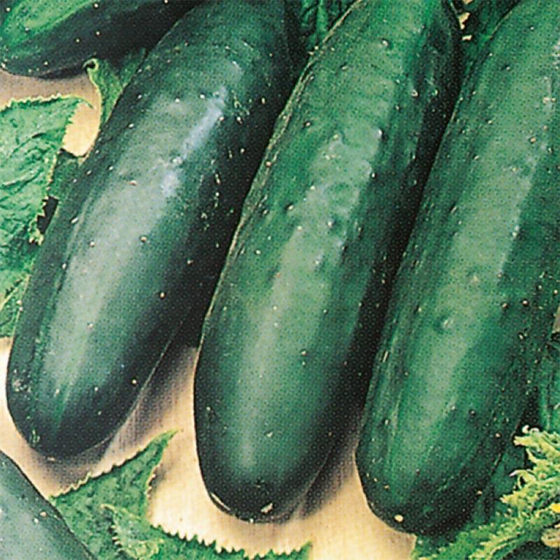 Gurka Marketmore, organic-Ekologiskt frö till Gurka Marketmore