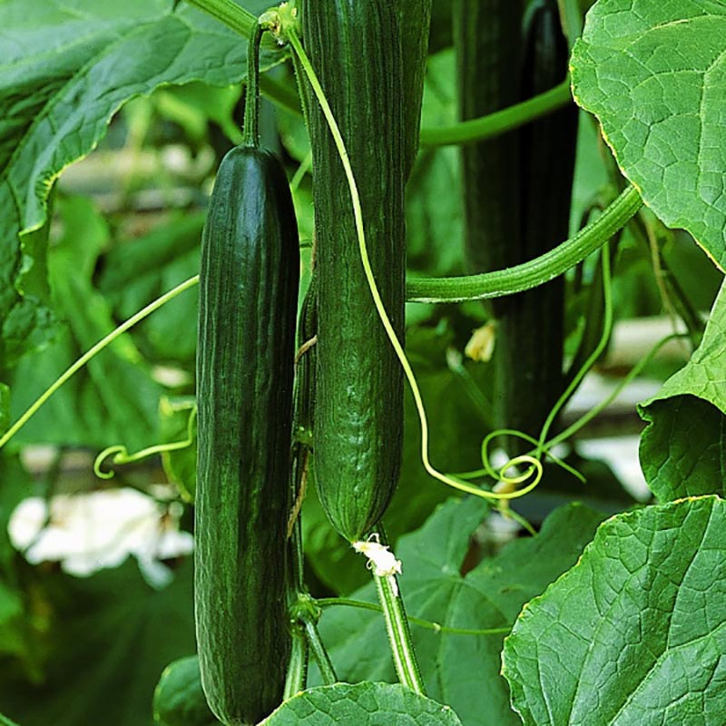 Gurka Styx F1 Hybrid, organic-Ekologiskt frö till Gurka Styx F1 Hybrid