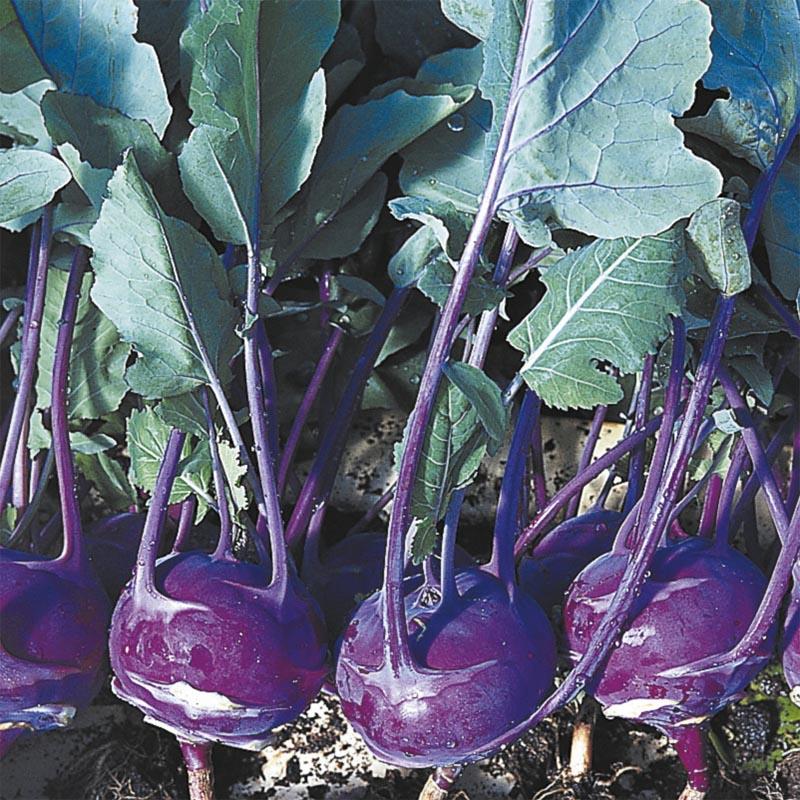 Kålrabbi Azur Star, organic-Ekologiskt frö till Kålrabbi Azur Star