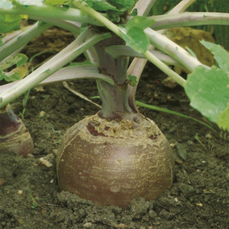 Kålrot Lomond, organic-Ekologiskt frö till Kålrot Lomond
