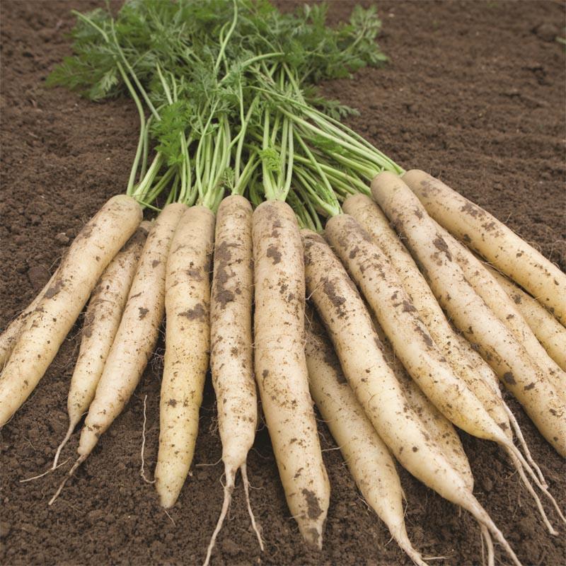 Morot White Satin F1 organic-Ekologiskt frö till Morot White Satin F1