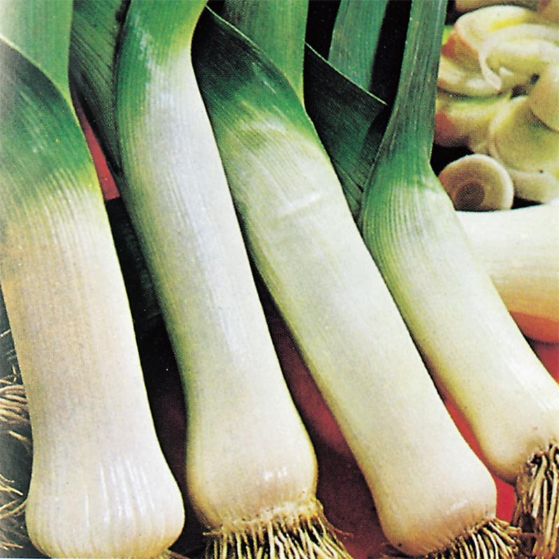 Purjolök Carentan, organic-Ekologiskt frö till Purjolök Carentan