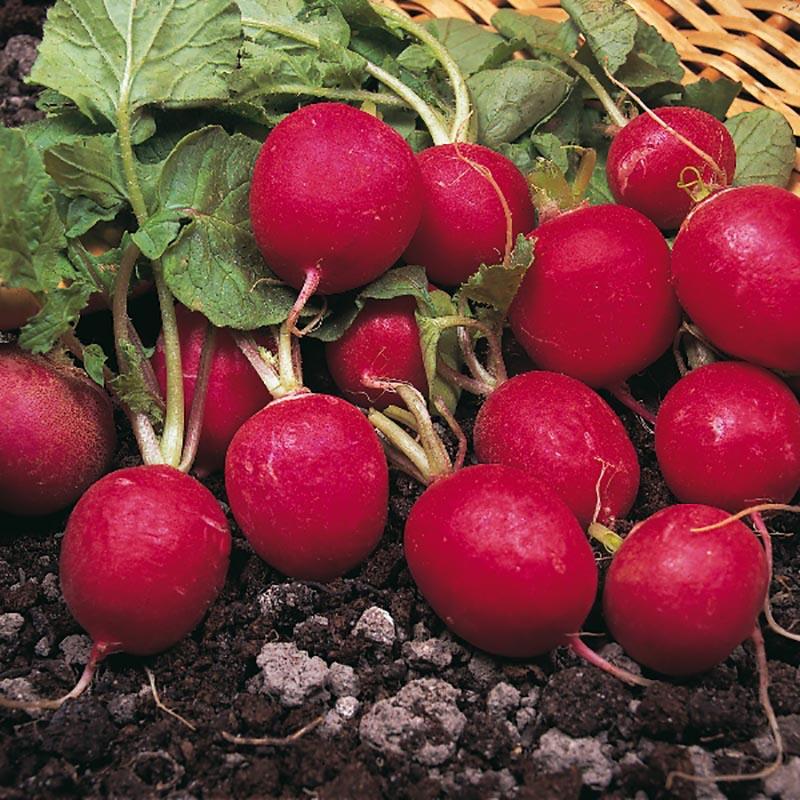 Rädisa Saxa, organic-Ekologiskt frö till Rädisa Saxa