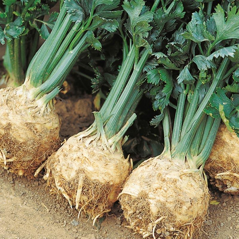 Rotselleri Prinz, organic-Ekologiskt frö till Rotselleri Prinz