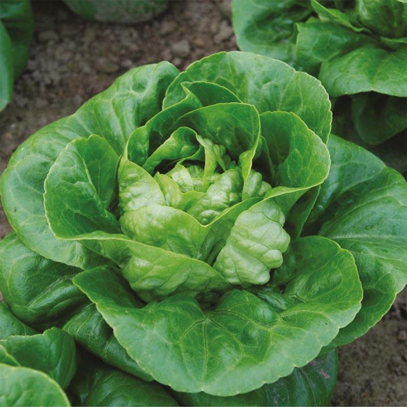 Sallad Maureen, organic-Ekologiskt frö till Sallad Maureen