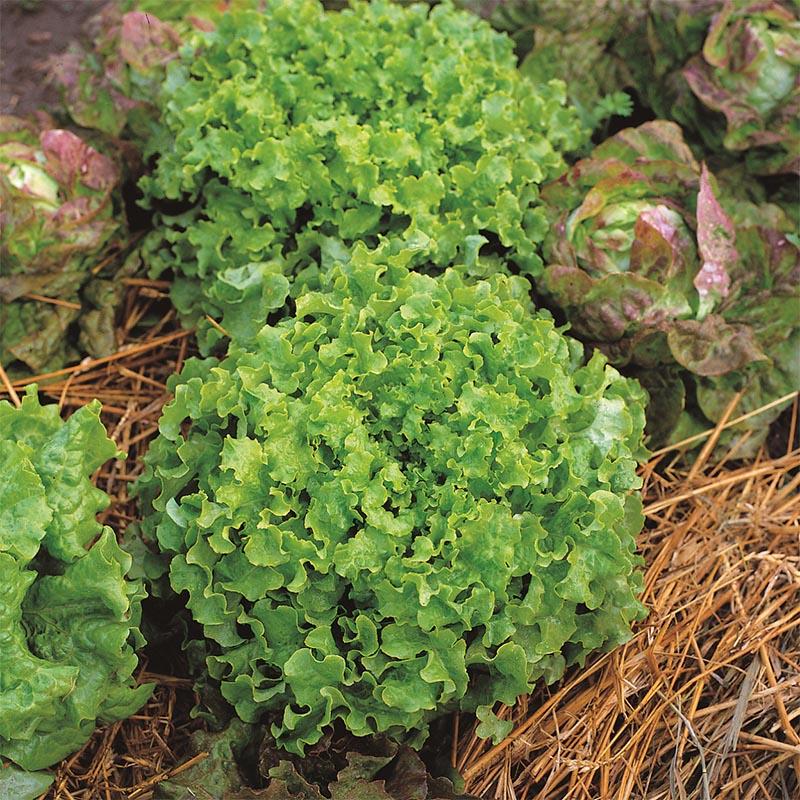 Sallad Salad Bowl, organic-Ekologiskt frö till Sallad Salad Bowl