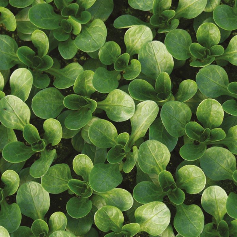 Salladsmajs Vit, organic-Ekologiskt frö till Salladsmajs Vit