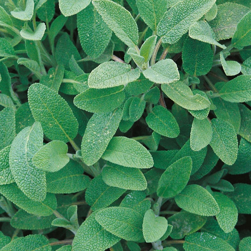 Salvia, organic-Ekologiskt frö till Salvia