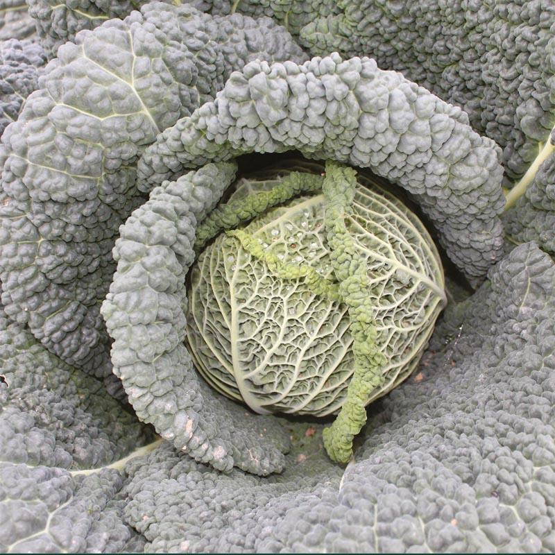Savojkål Canasta F1, organic, Ekologiskt frö till Savojkål Canasta F1