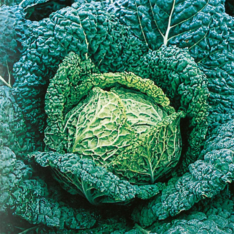 Savojkål Vertus, organic-Ekologiskt frö till Savojkål Vertus
