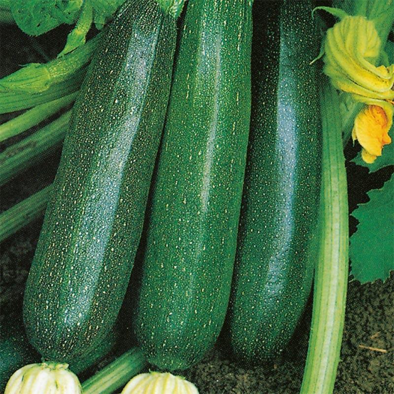 Zucchini Nero Di Milano, organic-Ekologiskt frö till Zucchini Nero Di Milano
