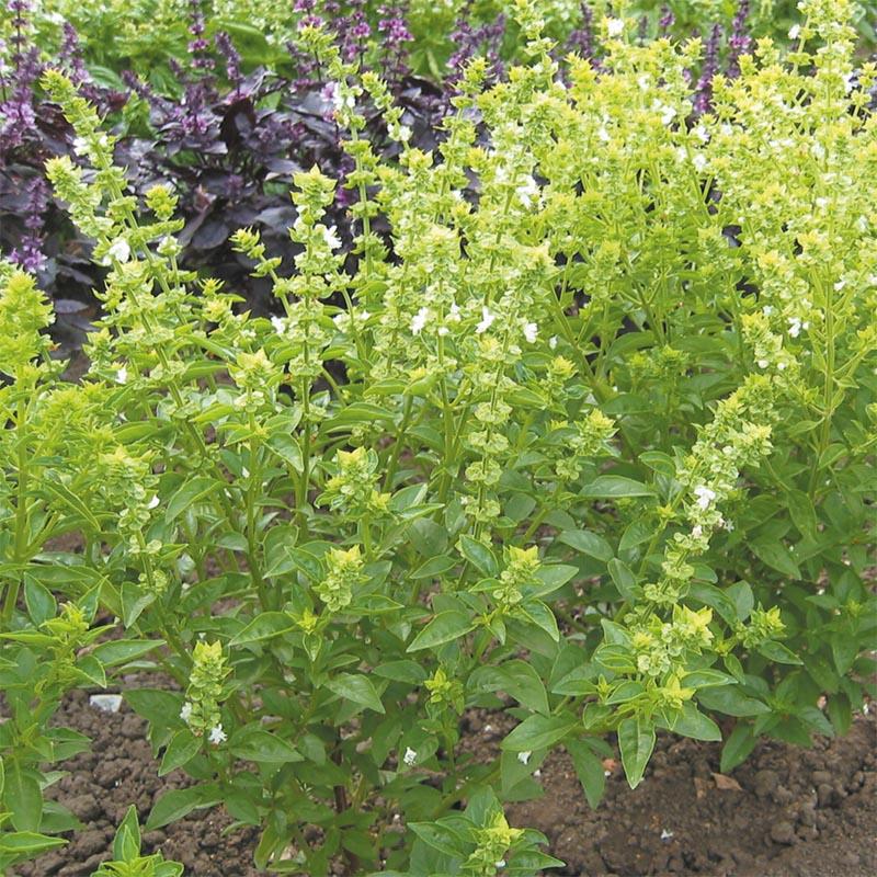 Frö till Buskbasilika från Suffolk Herbs