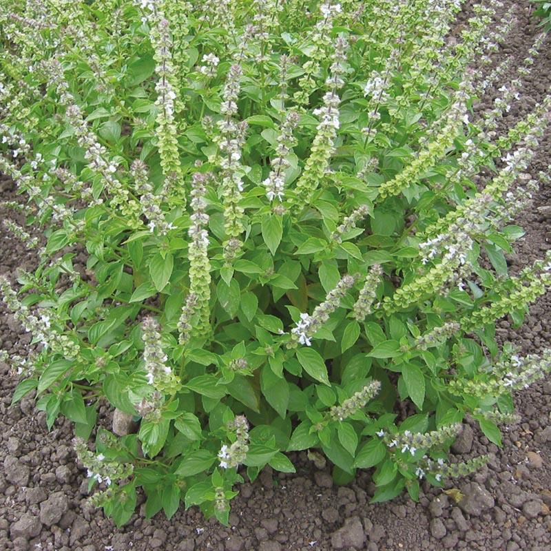 Citronbasilika, Frö till Citronbasilika från Suffolk Herbs