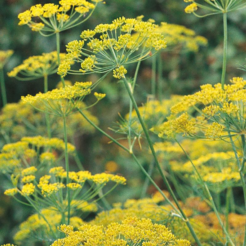Krondill-Frö till Krondill från Suffolk Herbs