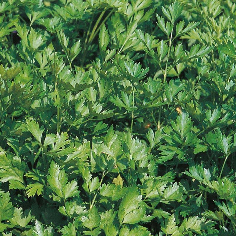 Fransk persilja-Frö till Fransk persilja från Suffolk Herbs