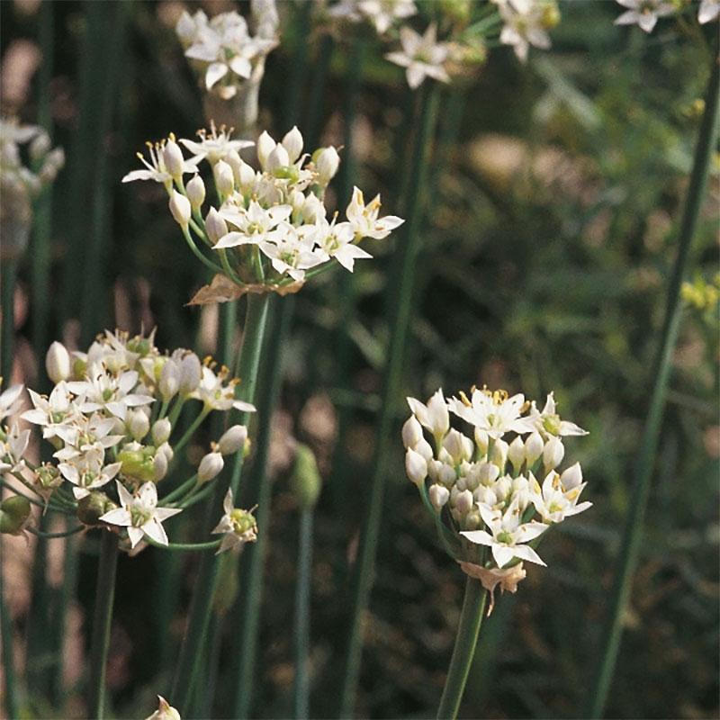 Kinesisk gräslök-Frö till Kinesisk gräslök från Suffolk Herbs