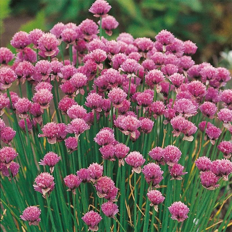 Gräslök-Frö till Gräslök från Suffolk Herbs