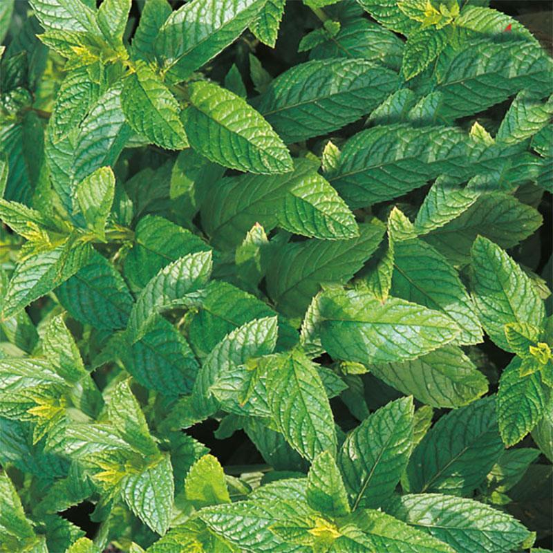 Grönmynta, Frö till Grönmynta från Suffolk Herbs
