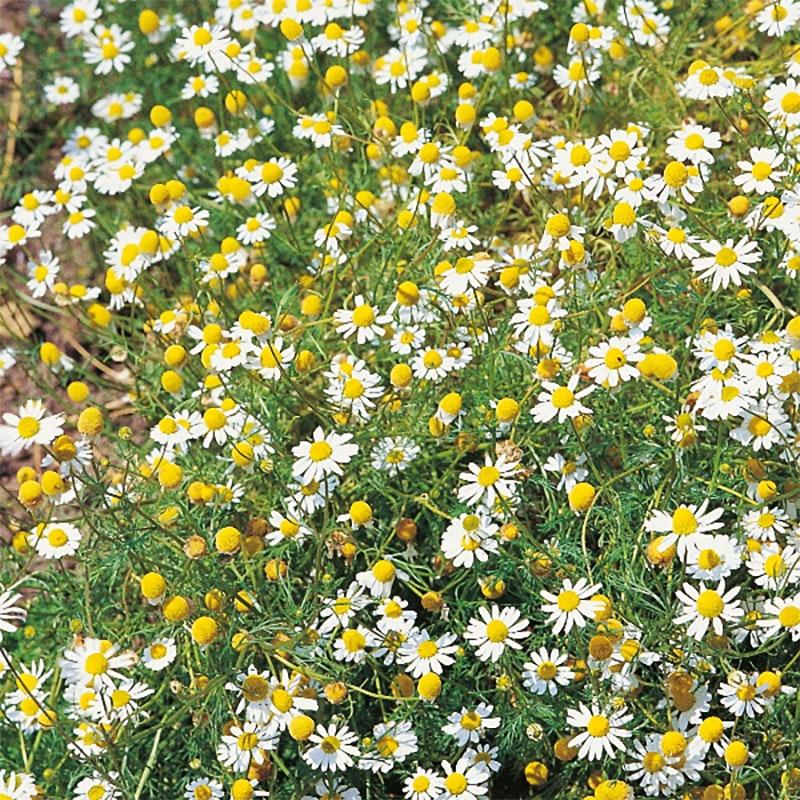 Kamomill, Frö till Kamomill från Suffolk Herbs