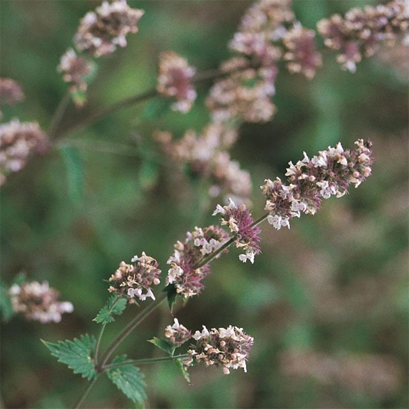 Kattmynta - Catnip-Frö till Kattmynta från Suffolk Herbs