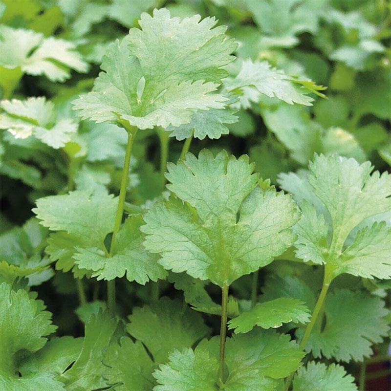 Koriander -Frö till Koriander från Suffolk Herbs