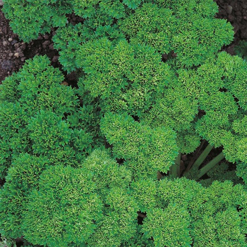 Kruspersilja, Frö till Kruspersilja från Suffolk Herbs