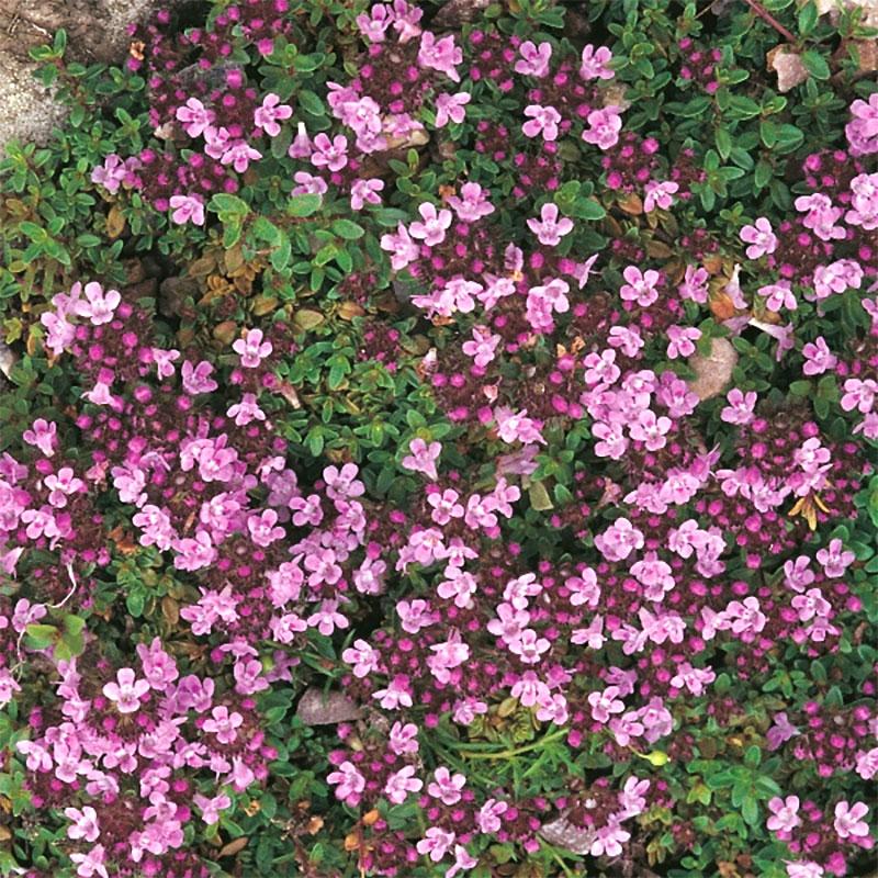Backtimjan-Frö till Backtimjan från Suffolk Herbs