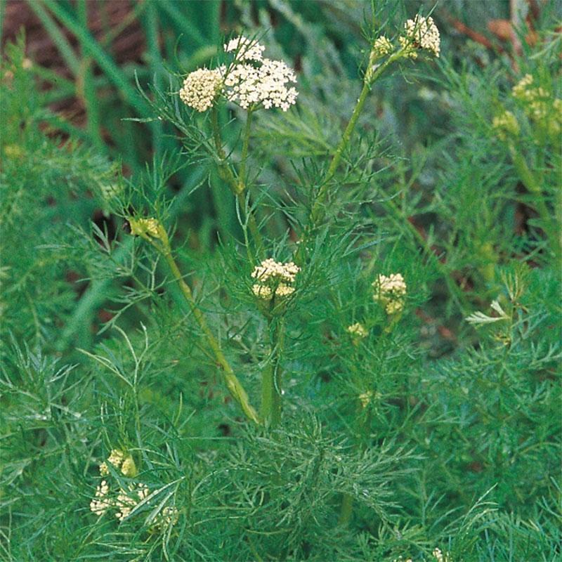 Frö till Kummin från Suffolk Herbs