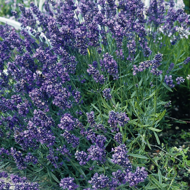 Lavendel, Munstead dwarf-Frö till Lavendel, Munstead dwarf från Suffolk Herbs