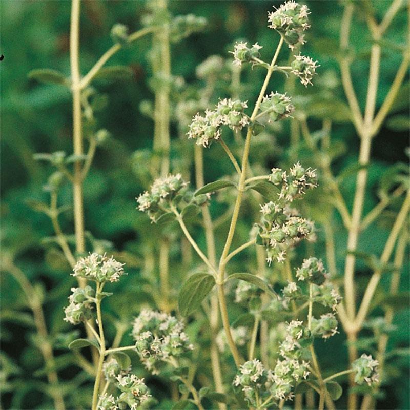 Mejram - Sweet Marjoram-Frö till Mejram från Suffolk Herbs