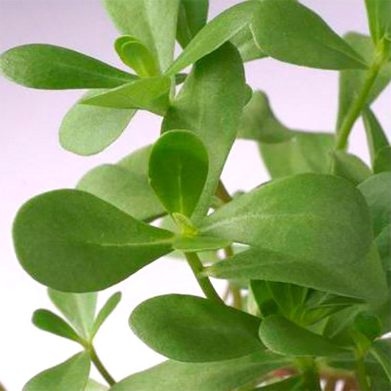 Portlack - Purslane-Frö till Portlack från Suffolk Herbs