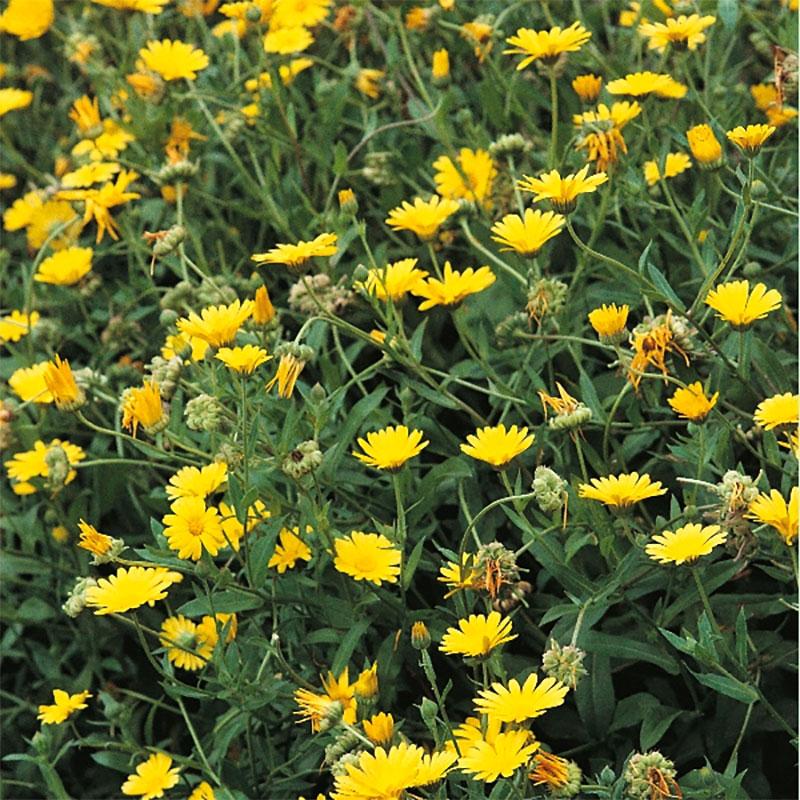 Ringblomma - pot marigold-Frö till Ringblomma från Suffolk Herbs
