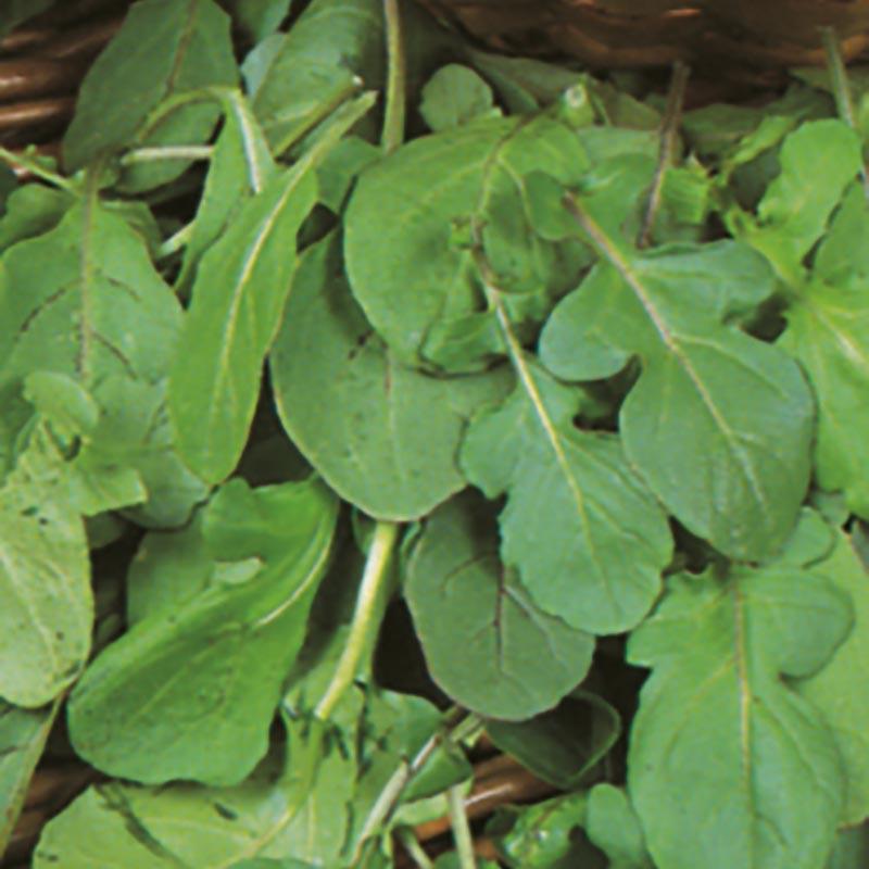 Sallads Ruccola, Frö till Ruccola från Suffolk Herbs