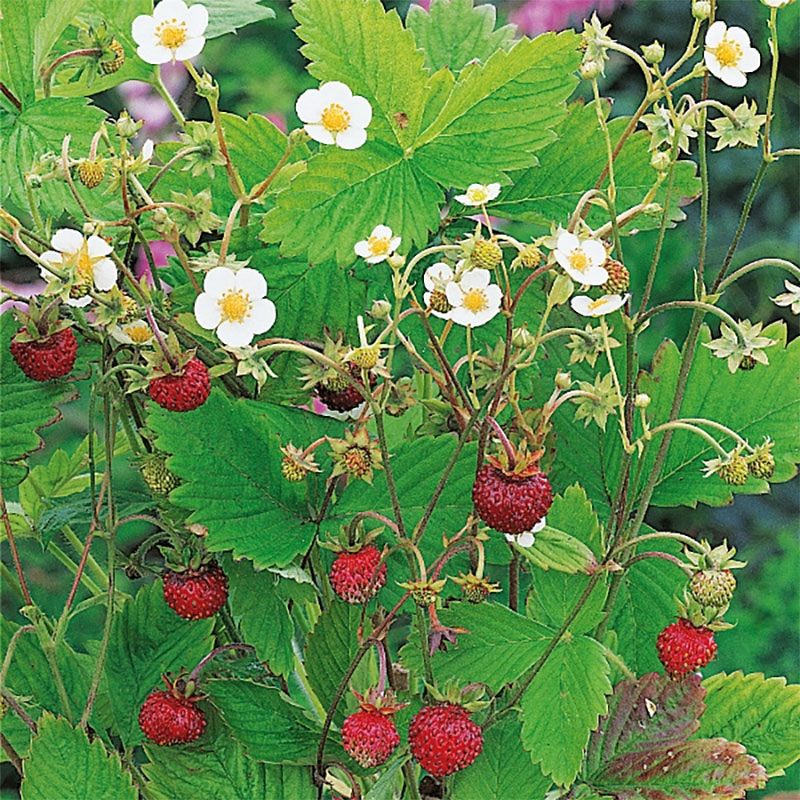 Smultron-Frö till smultron, Alpine Strawberry Suffolk Herbs