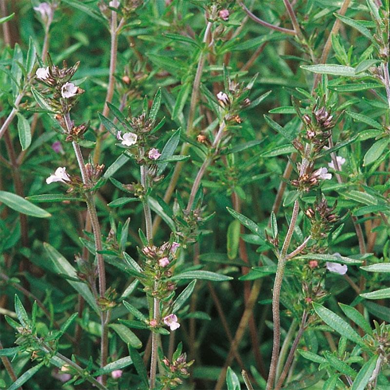 Frö till Sommarskyndel från Suffolk Herbs