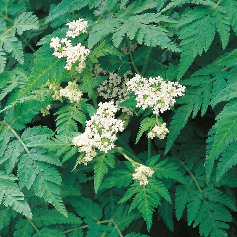 Spansk Körvel - Sweet Cicely-Frö till Spansk Körvel från Suffolk Herbs