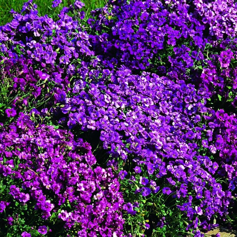 Aubrieta, Spring Falls-Fröer till Auberietia, Spring Falls