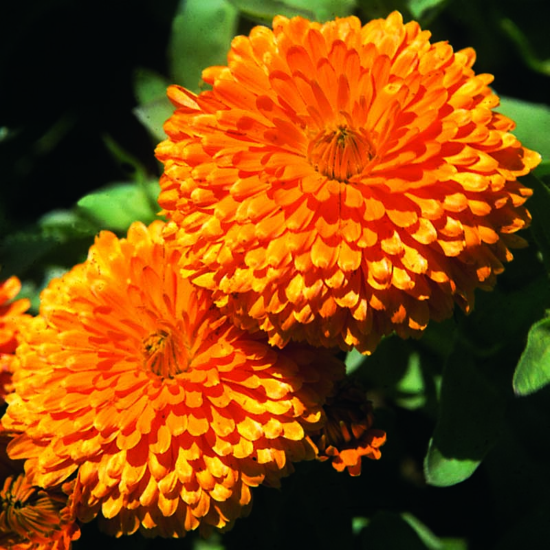 Ringblomma, Calendula Orange King-Fröer till Ringblomma, Orange King