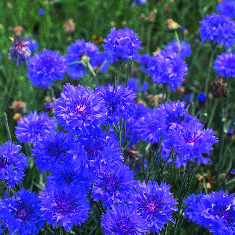 Blåklint, Cornflower Double Blue-Fröer till Blåklint, Double Blue