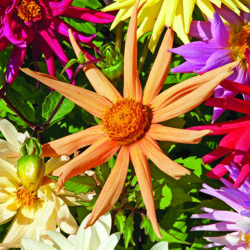Dahlia, Cactus Hybrids Mixed-Fröer till Dahlia, Cactus Hybrids Mixed