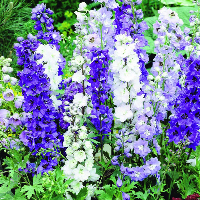 Riddarsporre, Delphinium Magic Fountains Mix-Fröer till Delphinium, Magic Fountains Mix