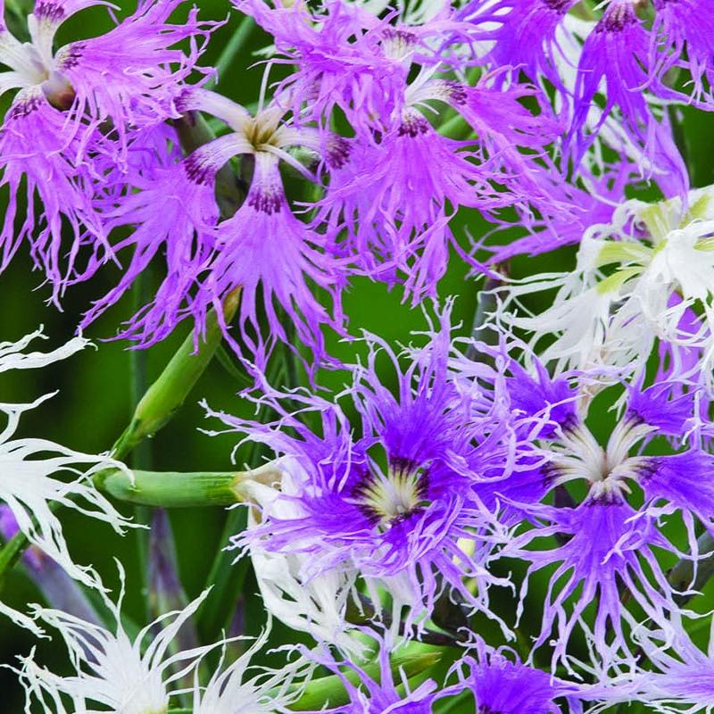 Nejlika, Dianthus Hybridus Rainbow Loveliness-Fröer till Dianthus Hybridius, Rainbow Loveliness