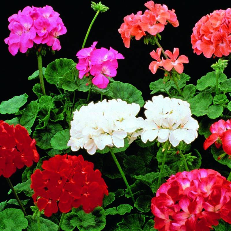 Pelargonmix, Paintbox F2, Fröer till Geranium, Paintbox F2