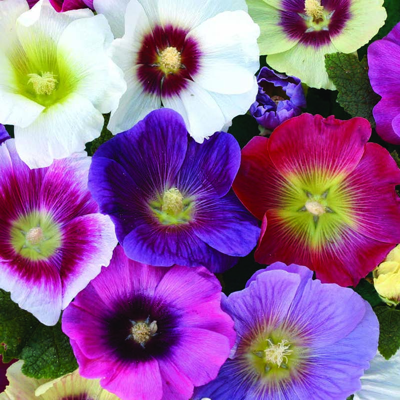 Stockros, Hollyhock Halo Mixed-Fröer till Hollyhock, Halo Mixed