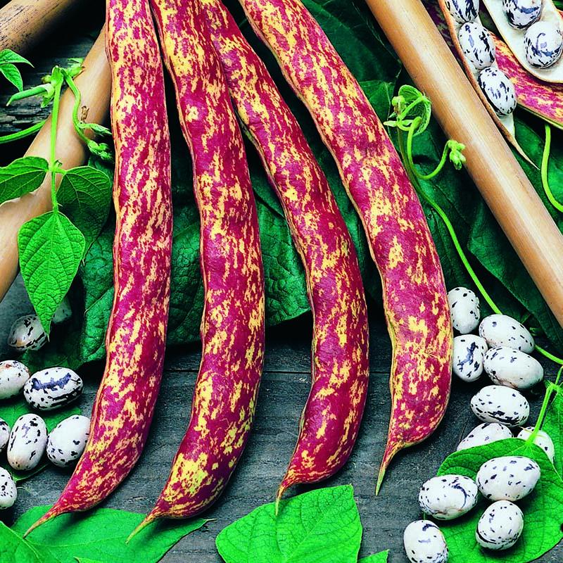 Klätterböna, Barlotta Di Fuoco-Fröer till Klätterböna, Barlotta Di Fuoco