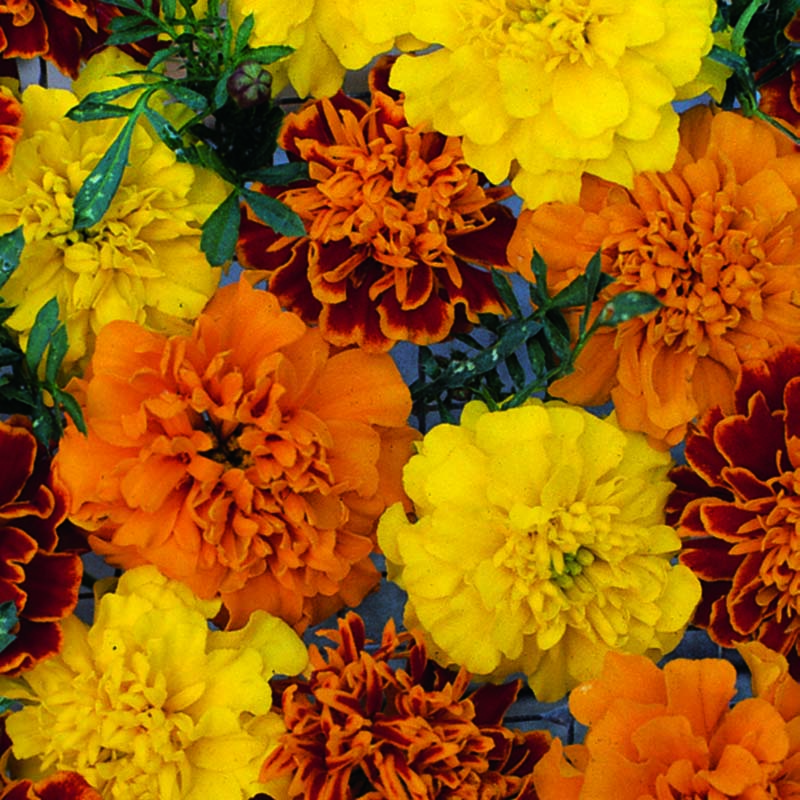 Tagetes, Marigold French Boy o Boy Mixed-Fröer till Tagetes French, Boy O Boy Mixed