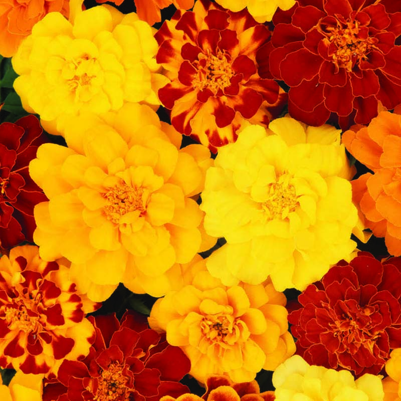 Tagetes, Marigold French Durango Mixed-Fröer till Tagetes French, Durango Mixed