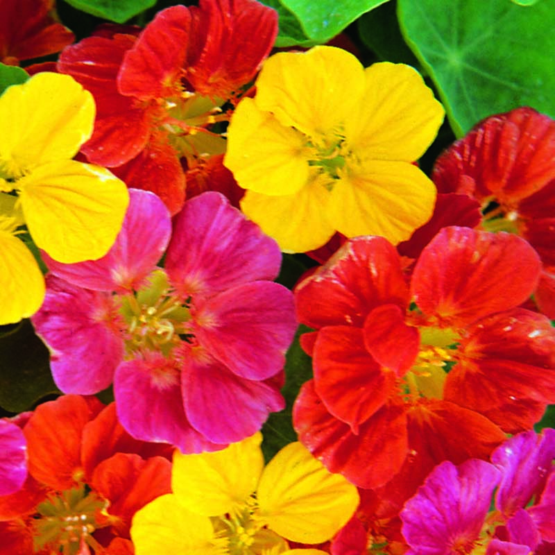 Krasse, Nasturtium Jewel Mixed, Fröer till Krasse, Jewel Mixed