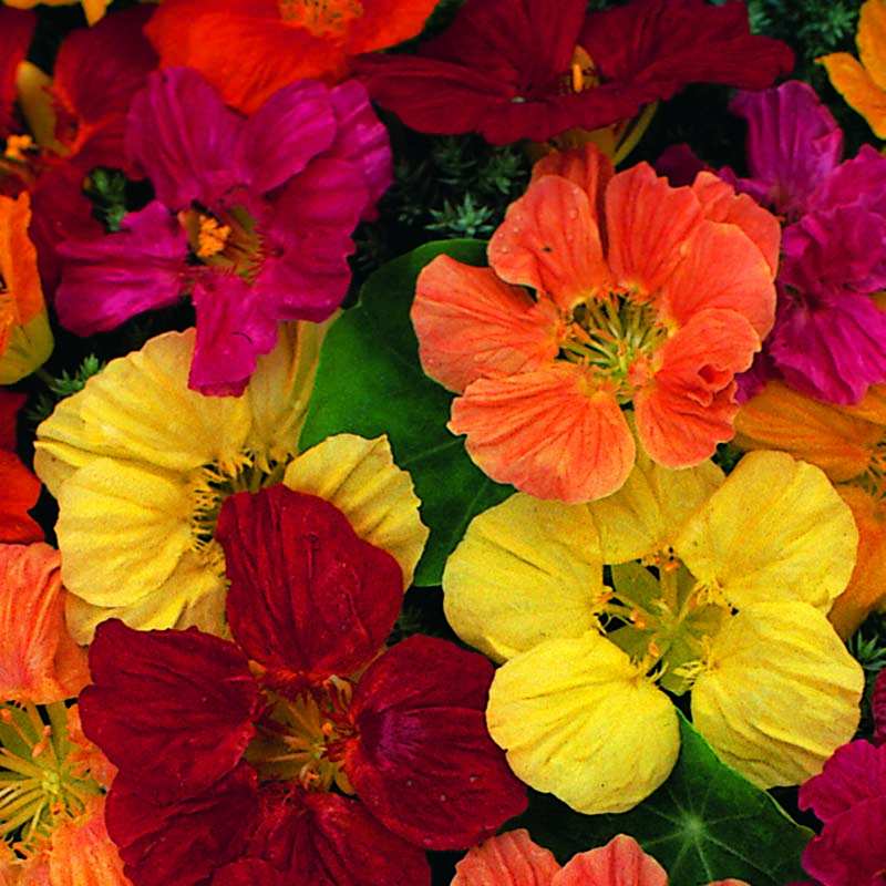 Krasse, Nasturtium Tom Thumb Mixed-Fröer till Krasse, Tom Thumb Mixed