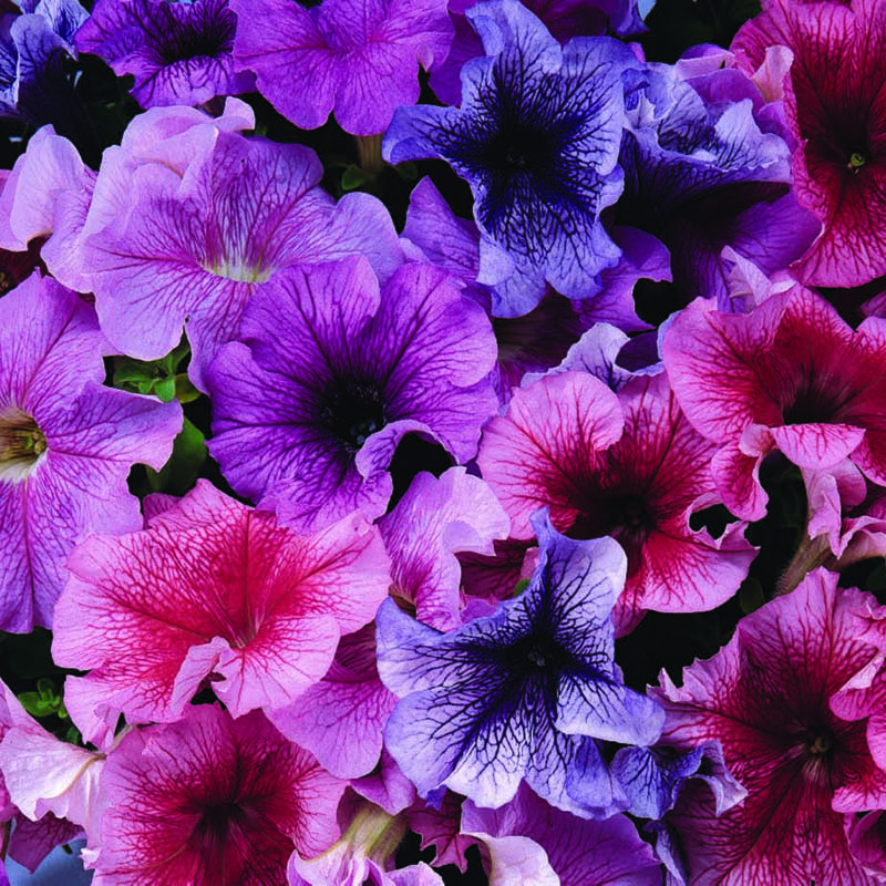Petunia, Daddy Mix F1-Fröer till Petunia, Daddy Mix F1